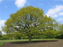 mustard_tree